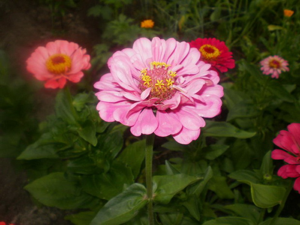 Сорт цинии: Фантазия розовая