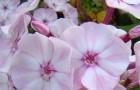 Сорт флокса метельчатого: Герда
