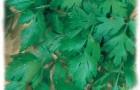 Сорт петрушки: Глория