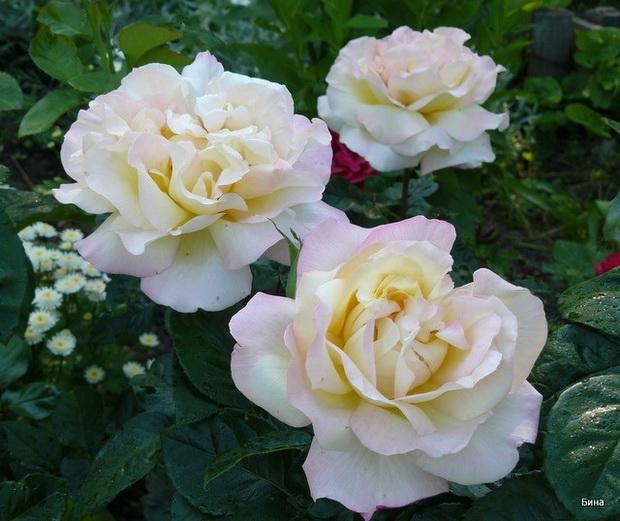 Сорт розы: Глория деи