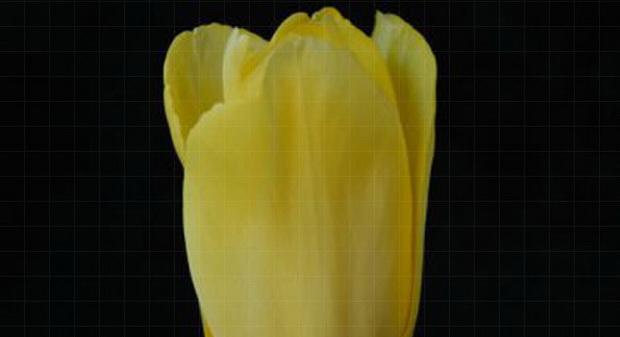 Сорт тюльпана: Голден спайк