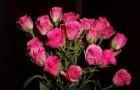 Сорт розы: Грация