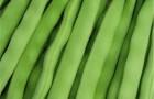 Сорт фасоли: Хавская универсальная