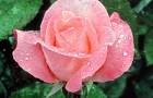 Сорт розы: Иоланта