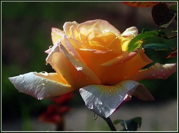 Сорт розы: Ирина