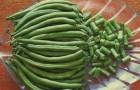 Сорт фасоли: Изумрудная
