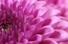 Сорт хризантемы: Кандры-куль