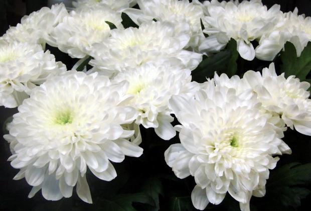 Сорт хризантемы: Караидель