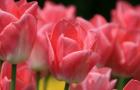 Сорт тюльпана: Кармин