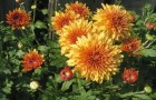 Сорт хризантемы: Костер дерсу