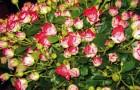 Сорт розы: Кудесник