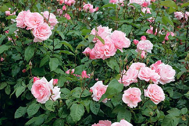 Сорт розы: Куин элизабет