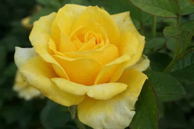 Сорт розы: Ландорра
