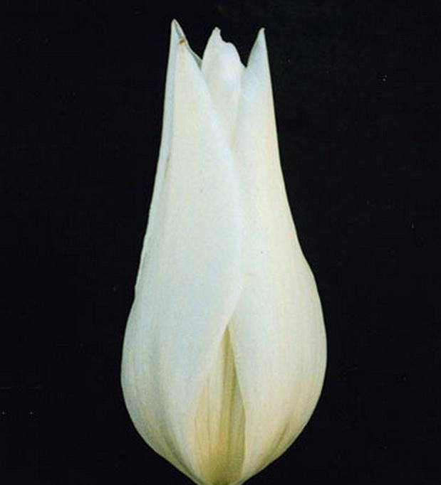 Сорт тюльпана: Лебедушка