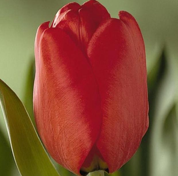 Сорт тюльпана: Лондон