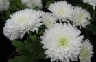 Сорт хризантемы: Людмила