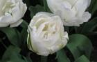 Сорт тюльпана: Маурин