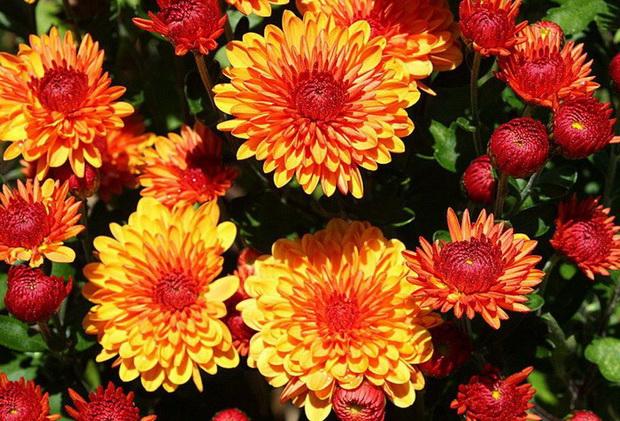 Сорт хризантемы: Мажит гафури