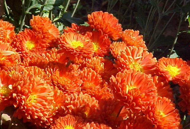 Сорт хризантемы: Мазурка