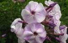 Сорт флокса метельчатого: Мираж