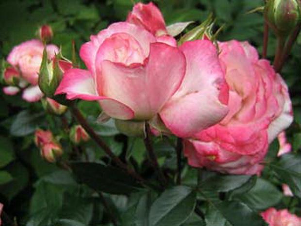 Сорт розы: Московская красавица