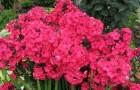 Сорт флокса метельчатого: Набат