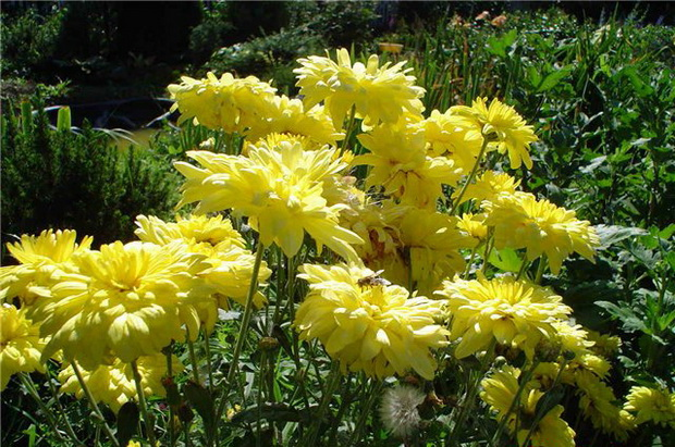 Сорт хризантемы: Надежда тимирязевки