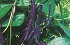 Сорт фасоли: Настена