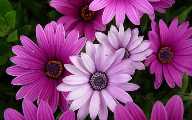 Сорт хризантемы: Нэркэс