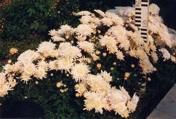 Сорт хризантемы: Незнакомка