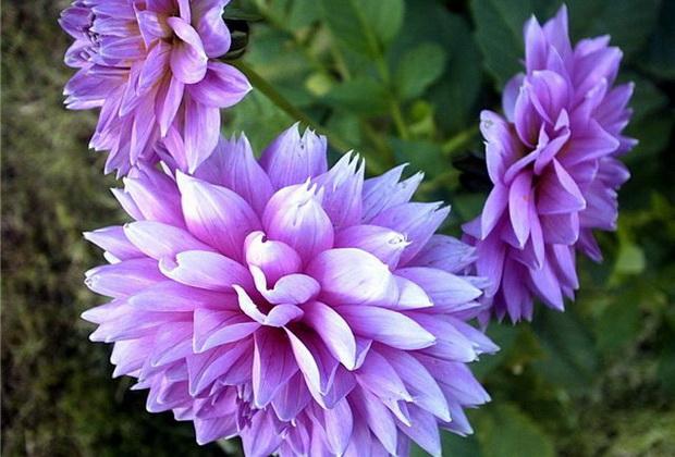 Сорт хризантемы: Ника