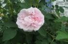 Сорт розы: Нимфа