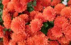 Сорт хризантемы: Огни уфы