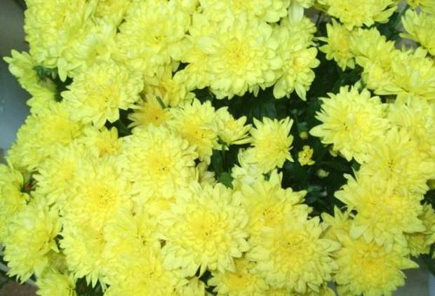 Сорт хризантемы: Октябрина