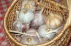 Сорт чеснока: Опал