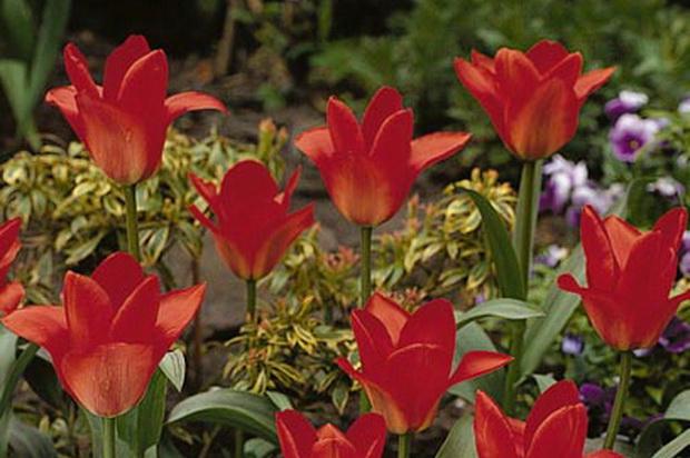 Сорт тюльпана: Ориентал бьюти