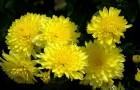 Сорт хризантемы: Осенние грезы