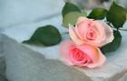Сорт розы: Памяти гасанова