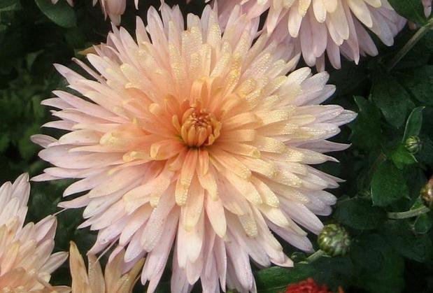 Сорт хризантемы: Памяти с.а. мамаева