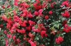 Сорт розы: Персей