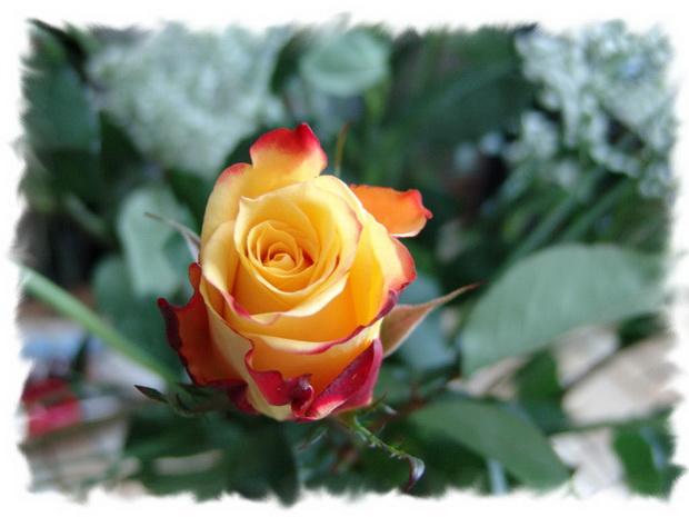 Сорт розы: Первая поземка