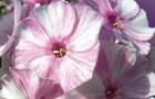 Сорт флокса метельчатого: Петрушка