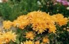 Сорт хризантемы: Полет шмеля