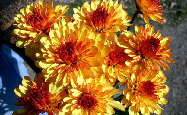 Сорт хризантемы: Профессор л.м.абрамова