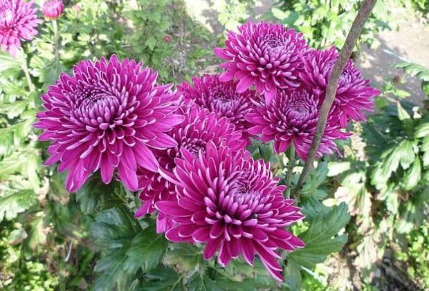 Сорт хризантемы: Регина