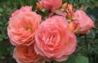 Сорт розы: Ренессанс