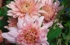 Сорт хризантемы: Россиянка