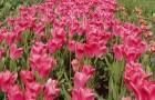 Сорт тюльпана: Роузи уингс
