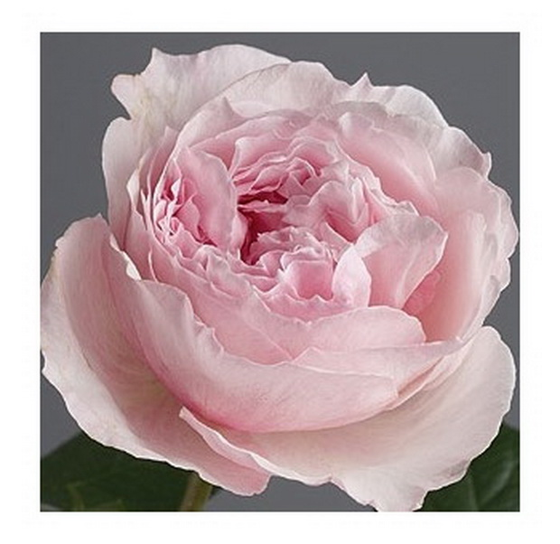Сорт розы: Розалинда