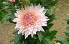 Сорт хризантемы: Розовый фламинго